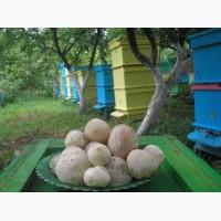 Настойка гриба Веселка з Карпат. Настойка цілющого гриба