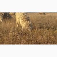 Продам баранов ягнят овец ярок