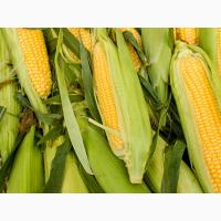 2018 рік! Насіння кукурудзи ДМС 3709 (Маїс) ФАО 370 кукуруза Маис
