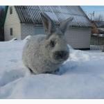 Продам кролі Європейський сріблястий та Полтавський сріблястий