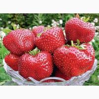 Продам розсаду полуниці (клубніки)
