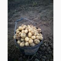 Продам молоду картоплю