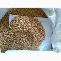 Продам пшеницу посевную в мешках, озимая сорт Смуглянка