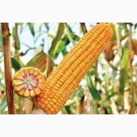 Высокоурожайный гибрид кукурузы на силос РАМ 6475 (ФАО 300)