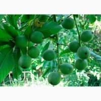 Саженцы грецкого ореха 6 сортов, опт - Саджанці грецького горіха