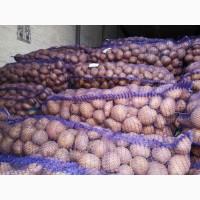 Продам товарный картофель, сорт Гала Брис