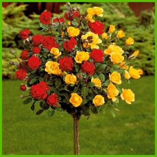 Саженцы штамбовых роз, кустовые и бордюрные сорта