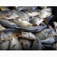 Продам малек рыбы: Щука, карп, линь, окунь
