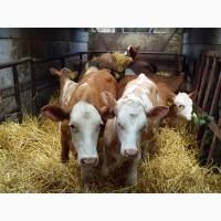 Продаем на экспорт Нетели, лошади, телки, бычки