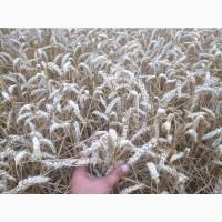 Продам пшеницу посевную РЖТ Реформ