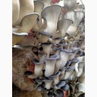 Свежие грибы Вешенки