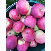 Продам яблука Слава Цiна 3грн