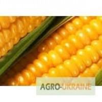 Зерно кукурудзи від Singenta опт