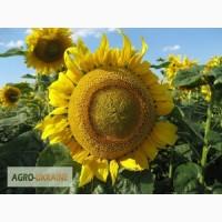 Семена подсолнечника гибрид ЗЛАТСОН (F1) от производителя