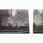 Кролі породи шиншила