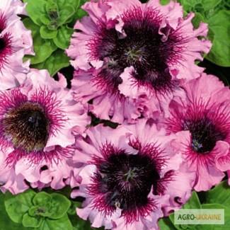 Продам семена петуния превосходнейшая Розеа F1