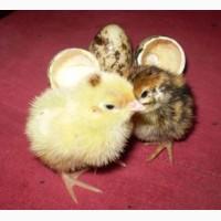Комбикорм Старт ПК 1-18 П для птенца перепела с 1 до 21 дня