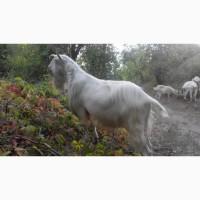 Чистокровный зааненский племенной козел