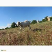 Продам заано-нубийских козлов