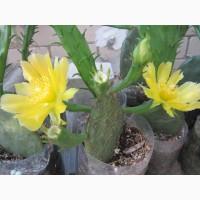 Опунция садовая – кактус, зимующий в открытом грунте
