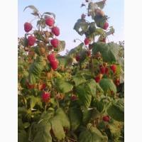 Продам саженці полуниці малини смородини
