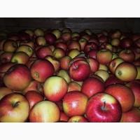 Продам Яблуко оптом