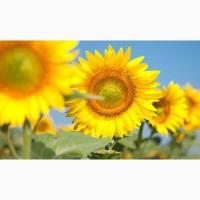Продам соняшник Сонячний настрій під Гранстар