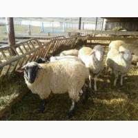 Продам баранов породы Дорпер для производства