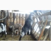 Козочка коза Ламанч Марфуся
