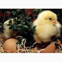 Купить элитные инкубационные яйца кур Фокси Чик