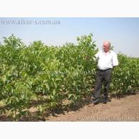 Саженцы грецкого ореха привитые 2-х летние