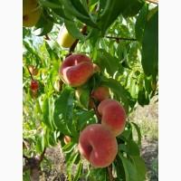Продаём персики оптом