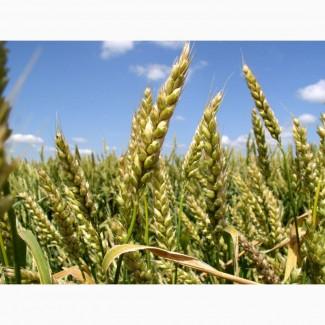 Семена (посевной материал) ярая пшеница