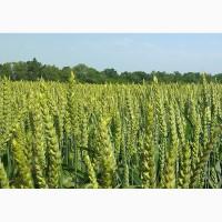 Продам високоякісне насіння озимої пшениці сорт Астарта