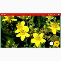 Закупаем Зверобой, цветок календулы, листья сенны, череду