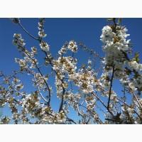 Продам сад черешня и абрикос в Мелитопольском р-не