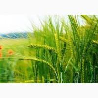 Семена ржи (жито) озимой гибрид Сатурн F1