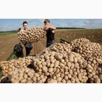 Продам картофель качество супер