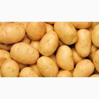 Картопля посадкова. Королева Анна
