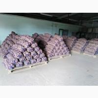 Продам товарный картофель, Чернигов, большой опт