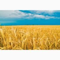 Закупаем пшеницу продовольственную 2-4 класс согласно ДСТУ