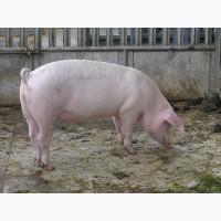 Продам свиней дешево молоденькі