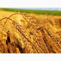 Продам посевной материал озимой пшеницы Юмпа (супер элита)