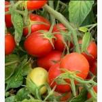 Продам помидор сливка, сорт- 3402 F1
