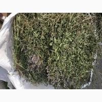 Продам траву м#039;яти перцевої, М#039;ЯТА ПЕРЕЧНА, Mentha piperita