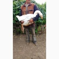 Продам гусиные яйца породы мамут