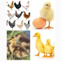Курчата домінант, редбро, мастер грей, бройлери, каченята, гусенята, муларди