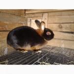 Срочно продам кролики племенные черно-огненные