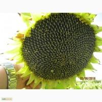 Гібрид соняшнику ЕЛВАС НТ (нова технологія), Штрубе, для засушливих умов вирощування