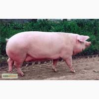 Продам свиней мясной породи, живым весом по хорошей цене